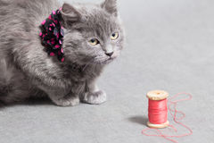 Fluffy gray kitten with decoration looks up angrily Stock Image