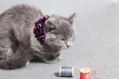 Fluffy gray kitten with decoration looks up angrily Stock Photos