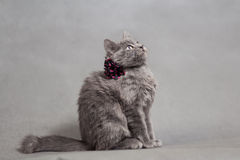 Fluffy gray kitten with decoration looks up Stock Photos