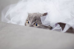 Fluffy gray kitten hiding Royalty Free Stock Photography