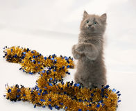 Fluffy gray kitten playing with golden Christmas garland Stock Image