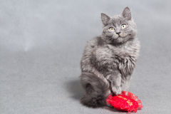 Fluffy gray kitten with red heart Royalty Free Stock Photography