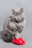 Fluffy gray kitten with red heart Royalty Free Stock Photo