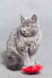 Fluffy gray kitten with red heart Royalty Free Stock Photos