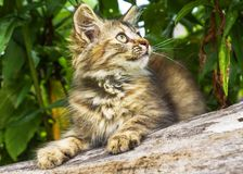 Fluffy gray kitten in a tree Stock Image