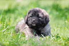 Fluffy gray puppy outdoors stock photography