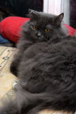 Fluffy gray smoky cat stock image