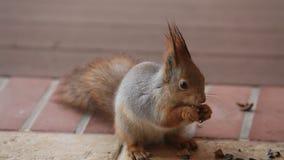 Fluffy gray squirrel found walnut on floor stock video