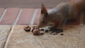 Fluffy gray squirrel found walnut on floor stock video footage