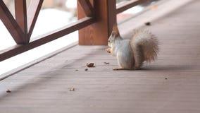 Fluffy gray squirrel gnaws walnut on floor of veranda stock footage