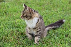 Fluffy gray striped cat in the grass stock photo