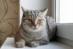 Fluffy gray tabby cat with green eyes is sitting near to the window. stock photography