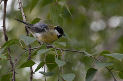 Fluffy Great Tit on a twig in a park Stock Photography