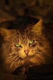 Fluffy green-eyed cat Stock Photography