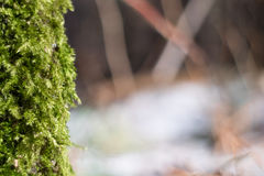 Fluffy green moss on blurred background closeup. Fluffy green moss vertical on blurred background royalty free stock image