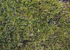 Fluffy green moss Royalty Free Stock Photos