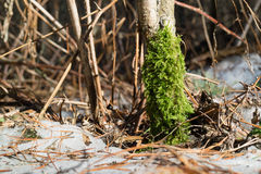 Fluffy green moss in the winter. Fluffy green moss on tree trunk in winter stock photo