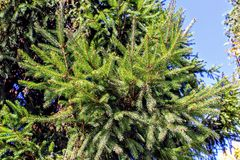 Fluffy green spruce branches against the blue sky Stock Photo