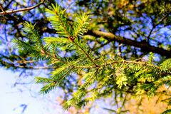 Fluffy green spruce branches against the blue sky Stock Images