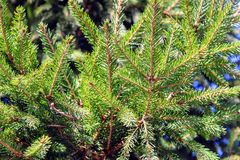 Fluffy green spruce branches against the blue sky Royalty Free Stock Photo