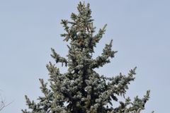 Fluffy green tree with cones on top. stock photo