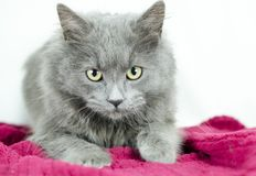 Fluffy grey blue medium hair kitten. Male five month old Fluffy grey blue medium hair kitten on white background and red blanket. Animal adoption photography for stock image