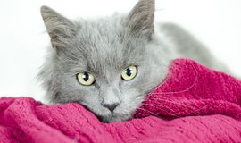 Fluffy grey blue medium hair kitten. Male five month old Fluffy grey blue medium hair kitten on white background and red blanket. Animal adoption photography for stock photography