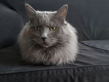 Fluffy grey cat with green eyes. Fluffy grey cat looks attentively with green eyes. Gray cat on the gray couch stock image