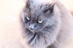Fluffy grey cat over light background. Royalty Free Stock Photos