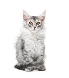 Fluffy grey kitten Royalty Free Stock Image