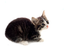 Fluffy grey  kitten Royalty Free Stock Images
