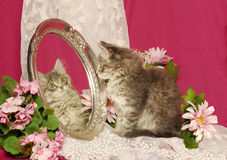 Fluffy Grey Kitten Looking At Own Image In Mirror Royalty Free Stock Photos