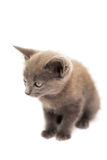 Fluffy grey kitten sitting Stock Image