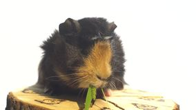 Guinea pig eating greens in slow motion while sitting on a wooden stump stock video footage