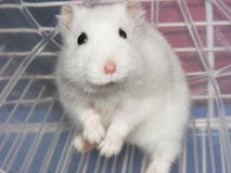 White hamster in wheel Royalty Free Stock Photos
