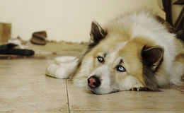 Fluffy handsome dog laying down on the floor Royalty Free Stock Photos