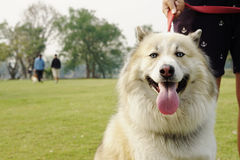 Fluffy handsome dog with red leash Royalty Free Stock Photos