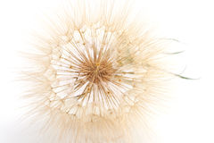 Fluffy head of salsify flower Royalty Free Stock Images