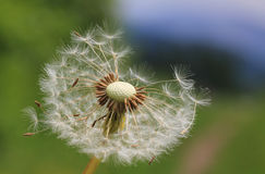 Fluffy head of withered dandelion Royalty Free Stock Images