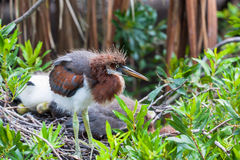 Fluffy heron chick Royalty Free Stock Images