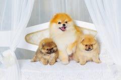 Fluffy high bred spitz dog Stock Images