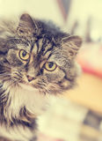 Fluffy house cat stares at  camera on blurred  living room background Stock Image