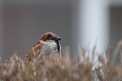 Fluffy house sparrow male protecting his territory Stock Photo