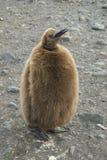 Fluffy King penguin chick stock photo