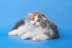 Fluffy kitten Stock Photos