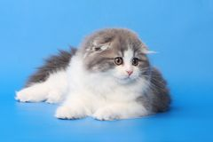 Fluffy kitten Royalty Free Stock Photography
