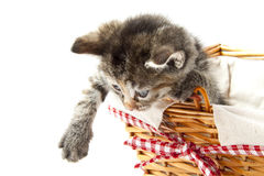 Fluffy kitten Royalty Free Stock Photo