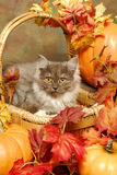 Fluffy kitten in an autumn basket Stock Photography