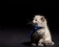 Fluffy kitten with blye eyes Royalty Free Stock Images