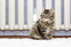 Fluffy kitten Stock Image